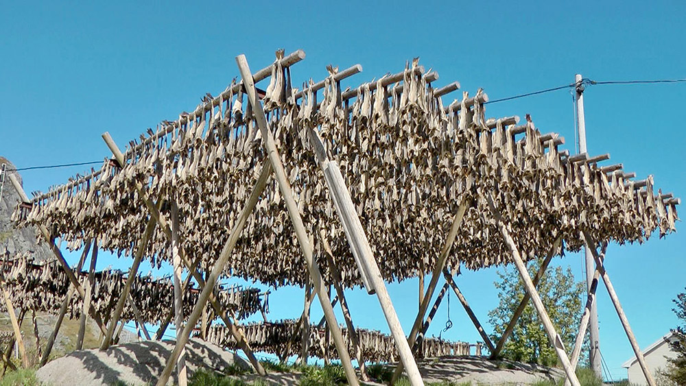 Nordmeer Angelreisen - the famous stockfish (dried cod) is hanging on the drying racks