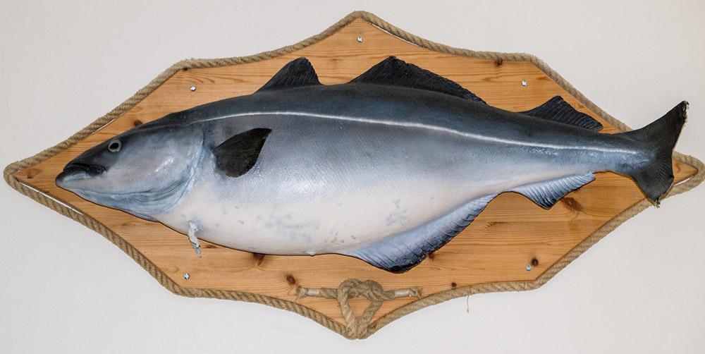 Nordmeer Angelreisen - world record Coalfish was caught at the Saltstraumen