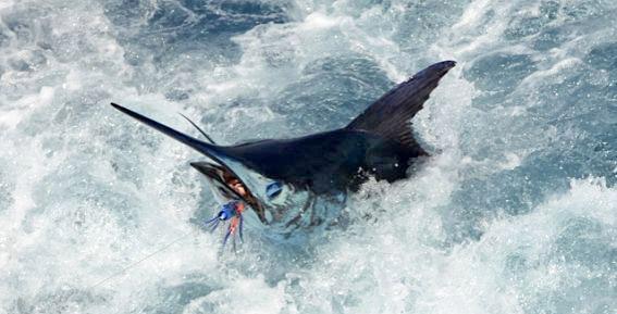 Die meisten Marline werden auf Jiggs gefangen