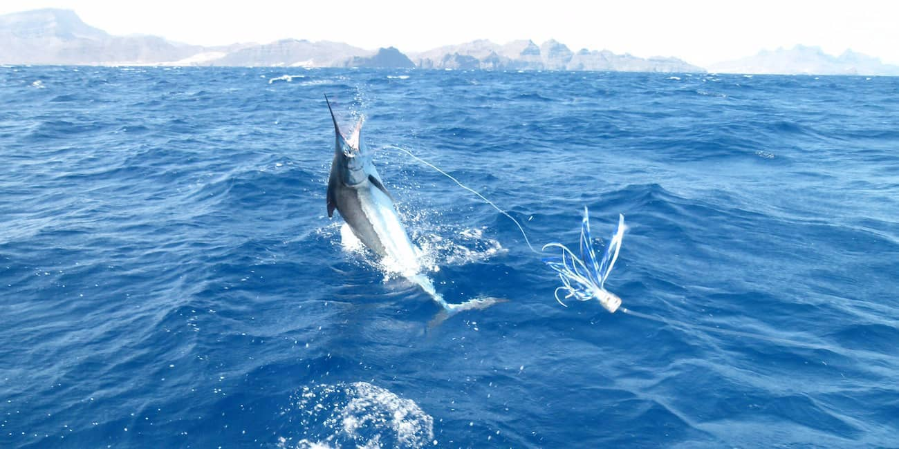 Prächtiger Marlin am Haken
